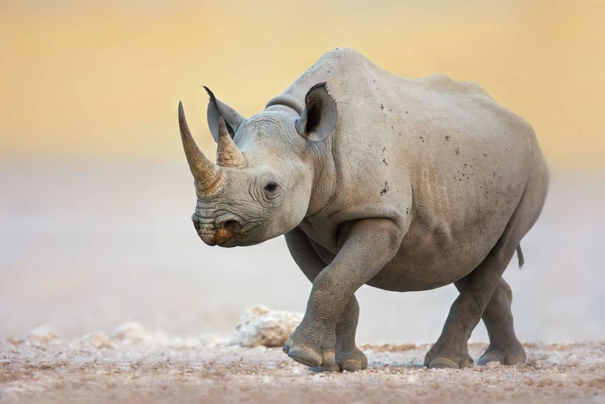 Black Rhinoceros, Ethosha NP, Namibia (Johan Swanepoel).jpg