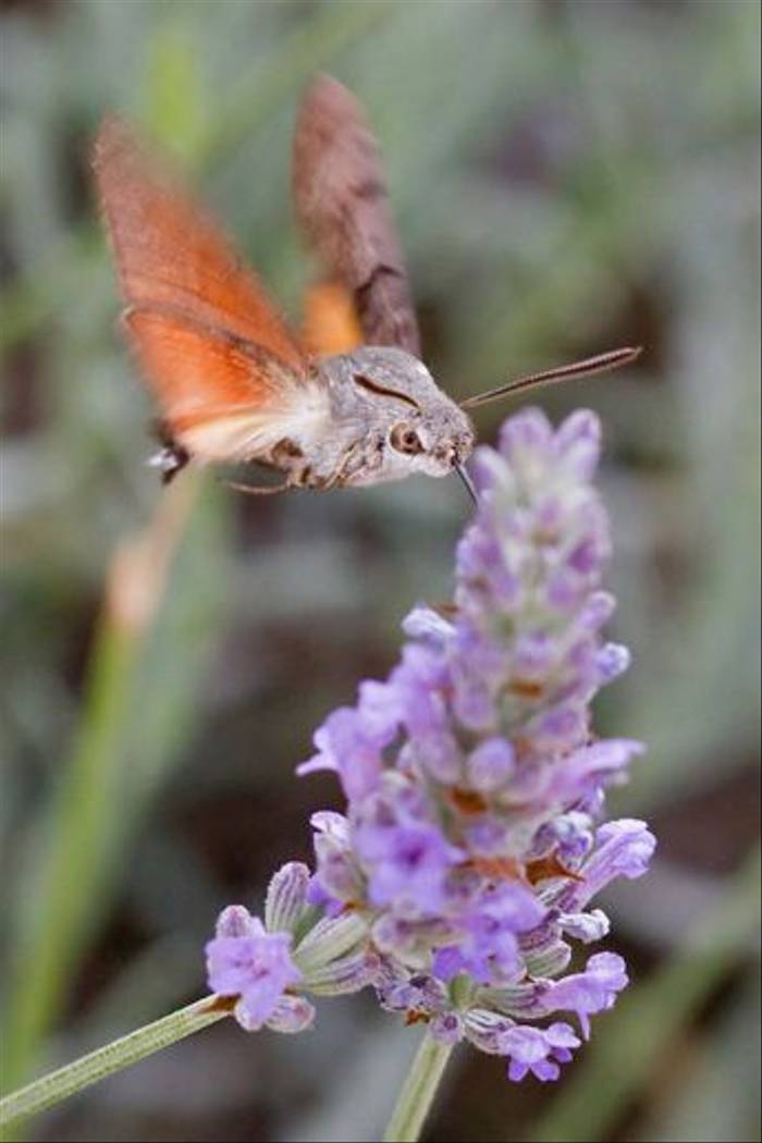 Hummingbird Hawkmoth (Tony Williams)