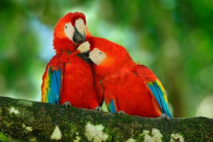 Scarlet Macaws, Costa Rica shutterstock_654094105.jpg