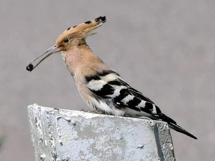 Hoopoe by Clive Pickton