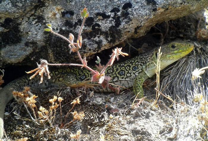 Ocellated Lizard