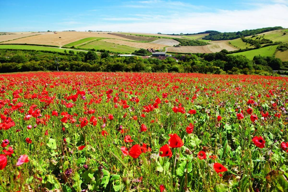 Poppy field in South Downs way, East Sussex, England, selective focus