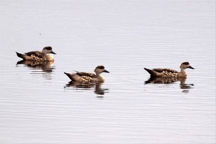 Crested Ducks (Peter Nichols)