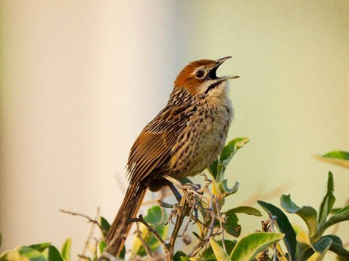 Cape Grassbird 2 (Sphenoeacus Afer) (Lance Tuckett)