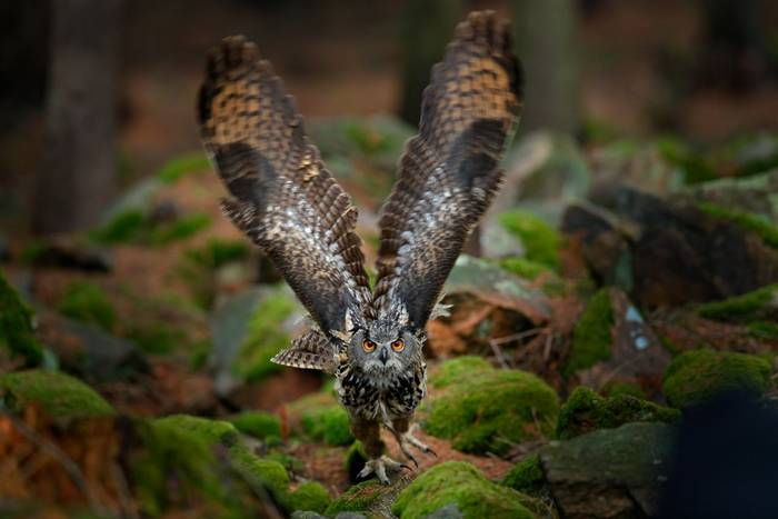 Eagle Owl, Europe shutterstock_1037669881.jpg