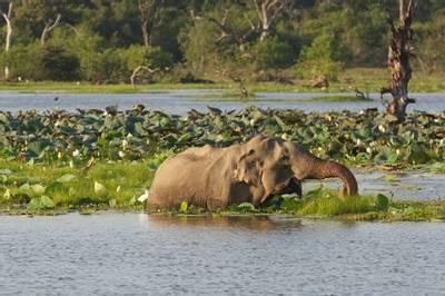 Asian Elephant, Yala NP by David Allison