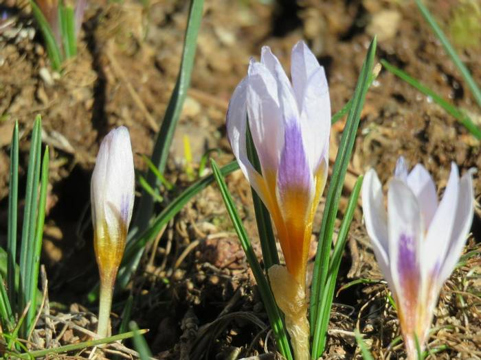 Endemic Crocus cyprius at top of Mt Olympus (Heather Osborne)