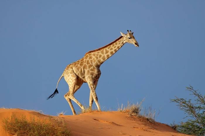 Giraffe, Kalahari Desert, South Africa