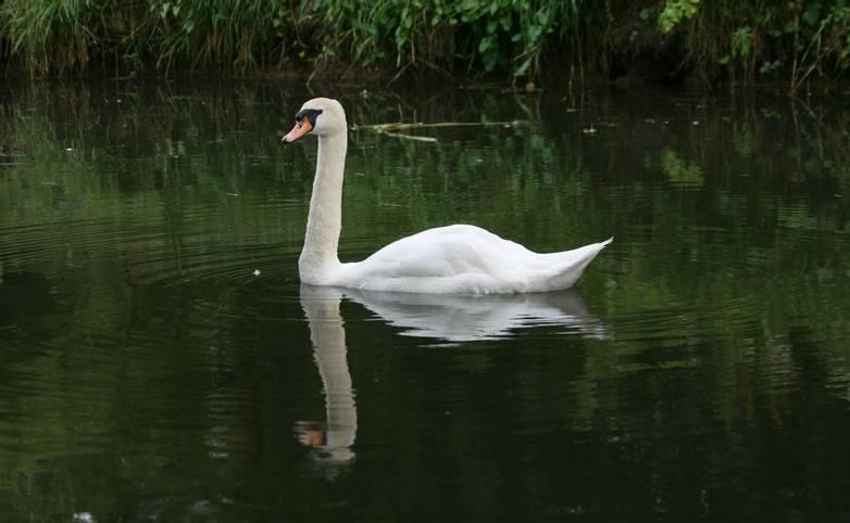 Mute_Swan_Canal.JPG