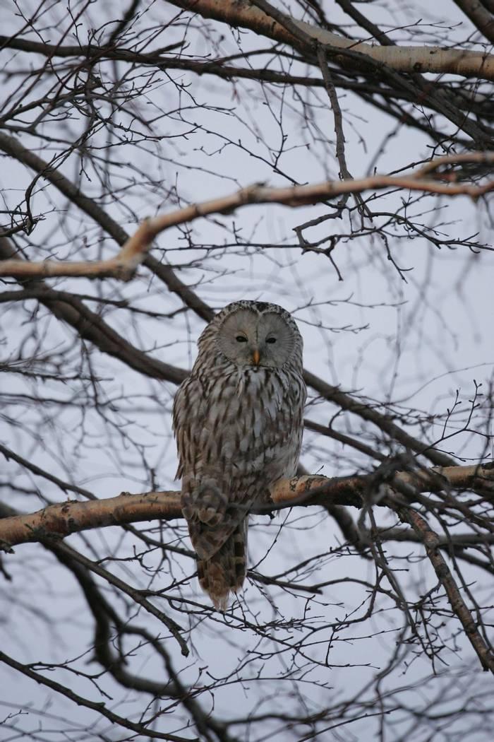 Ural Owl (Mati Kose)