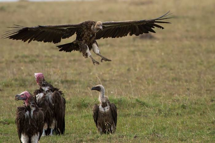 Ruppell's, Lappet-faced and White-backed Vultures  (Colin Brown)