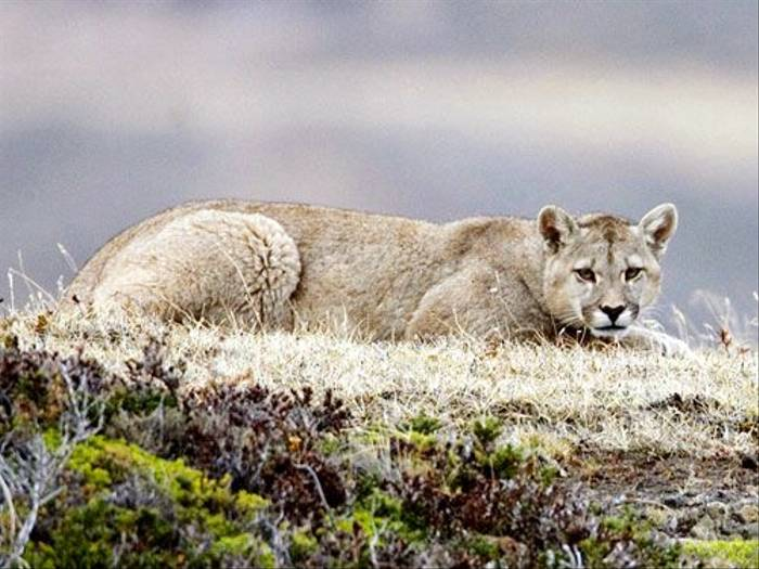 Puma (Antonio Lemos)