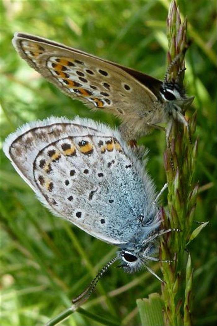 Silver-studded Blues (Julian Gayarre)