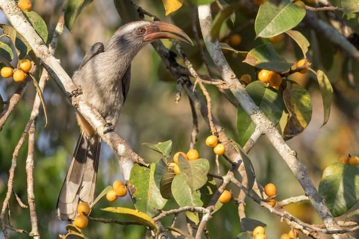 Malabar Grey Hornbill shutterstock_1022303710.jpg