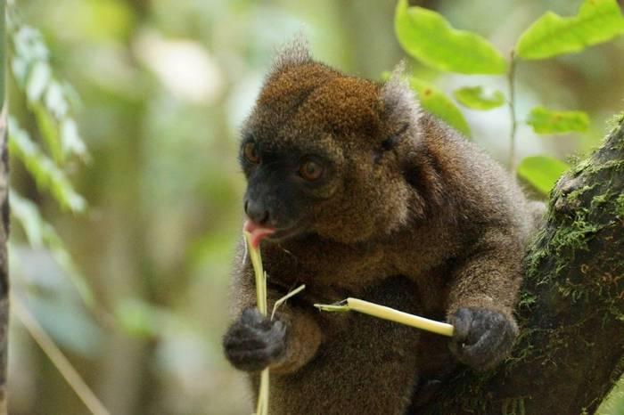 Greater Bamboo Lemur (Ed Drewitt)