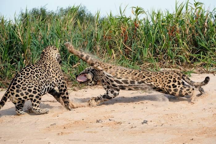 Jaguars-(Paul-Wild).jpg