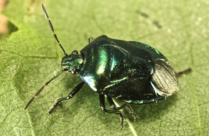 Zicrona caerulea - Blue Shield Bug (Alan Outen)
