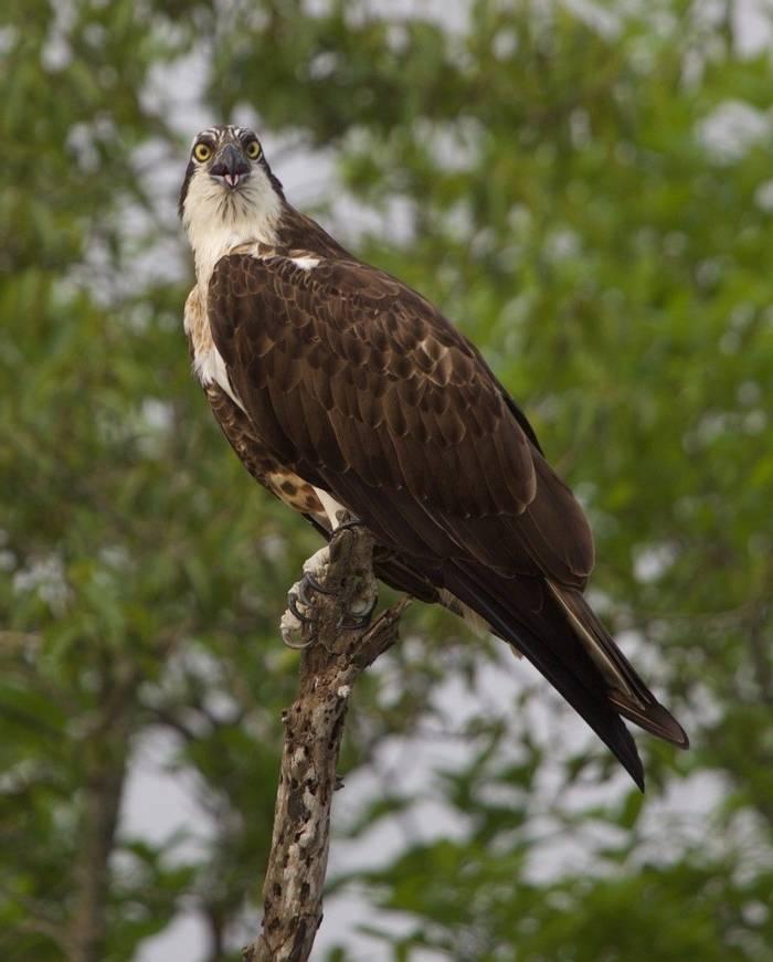 Osprey (Liz Seeber)