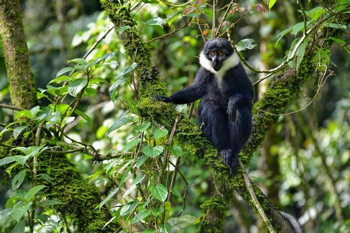 L'Hoest's Monkey, Rwanda shutterstock_540553510.jpg