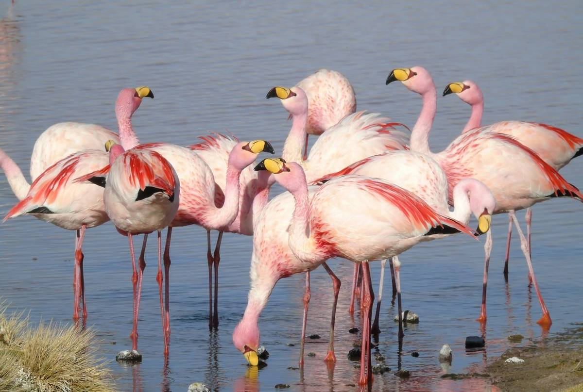 Puna Flamingoes