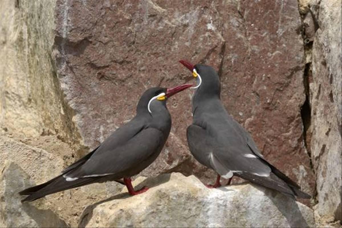 Inca Terns (Peter Price)