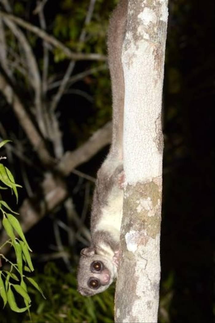 Fat-tailed Dwarf Lemur, Kirindy (Stephen Woodham)