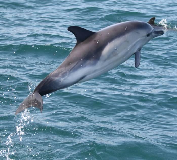 Common Dolphin (Tom Brereton).jpg
