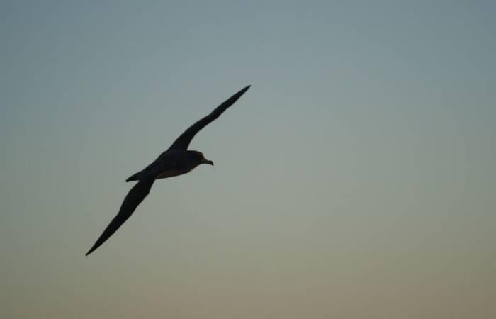 Corys Shearwater at dusk (Ed Drewitt)