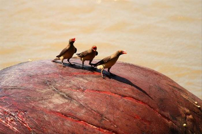 Red-billed Oxpeckers (Bret Charman)
