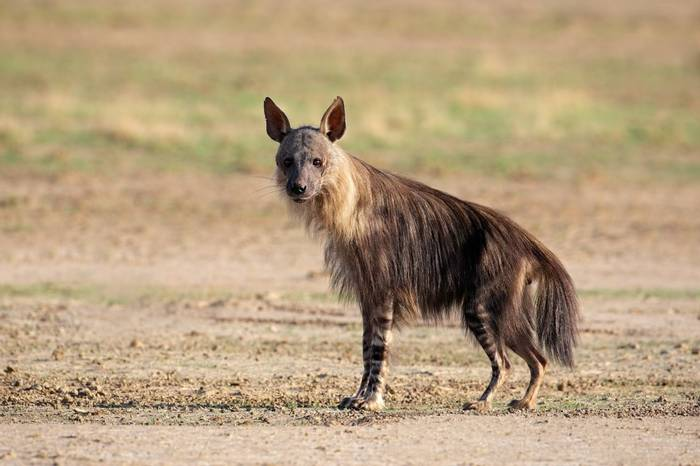 Brown Hyena, South Africa Shutterstock 72531496