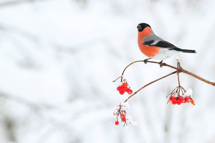 Bullfinch Shutterstock 593500193