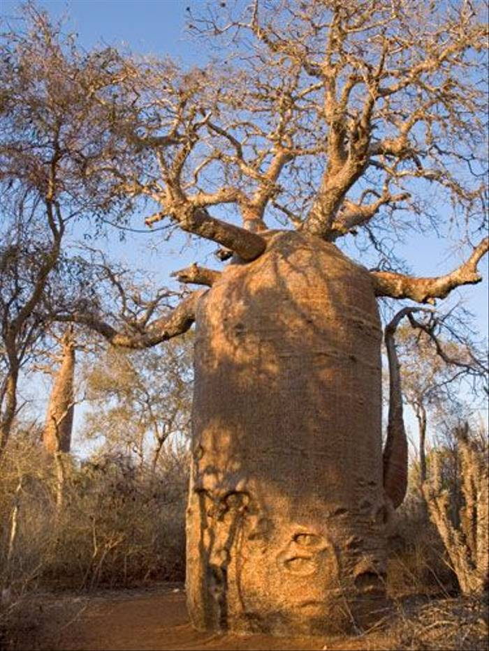 Bottle Baobab (Paul Stanbury)