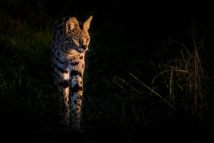 Serval (John Haskew).jpg