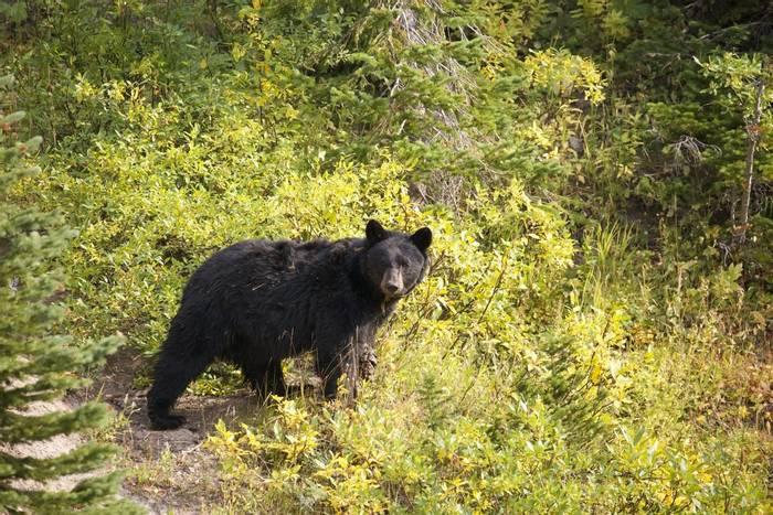 Black Bear, Yellowstone, USA shutterstock_528417529.jpg