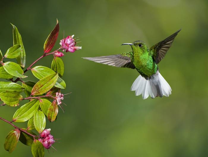 Coppery-headed Emerald hummingbird, Costa Rica shutterstock_126688313.jpg