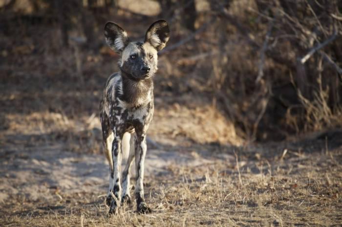 African Wild Dog, Tanzania Shutterstock 569046619 2