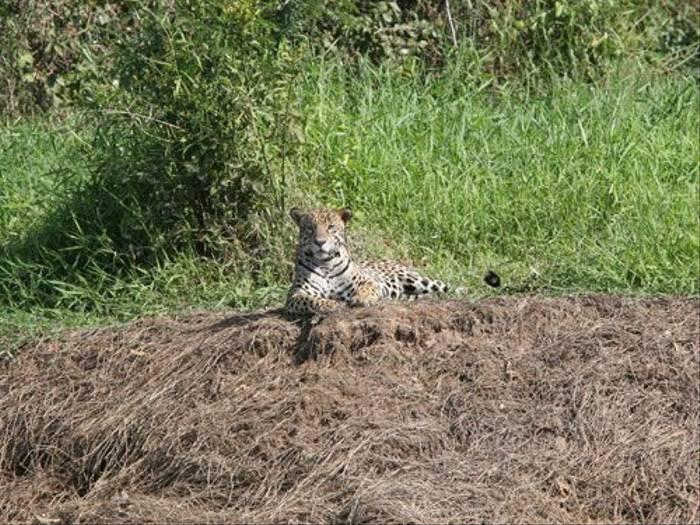 Jaguar (Bryan Roberts)