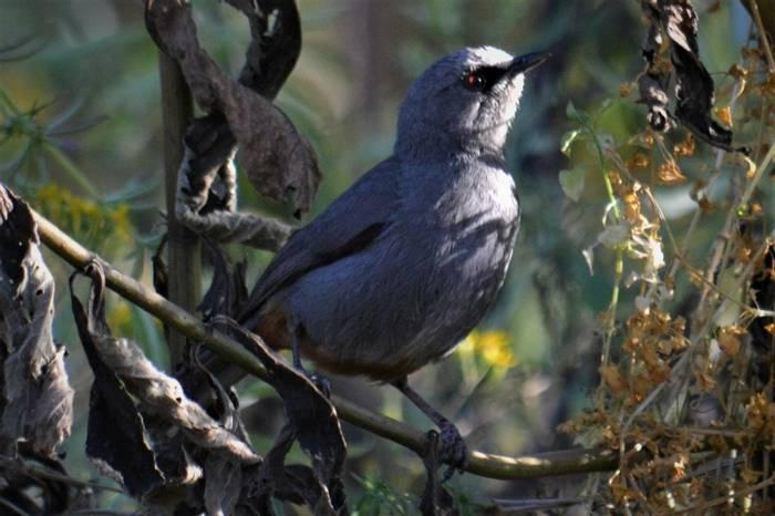 Abyssinnian Catbird