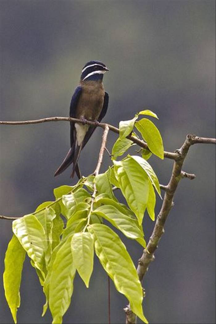 Whiskered Treeswift (Dani Free)