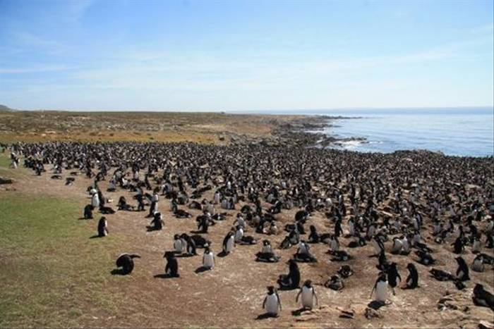 Rockhopper Penguins (Alan Henry)