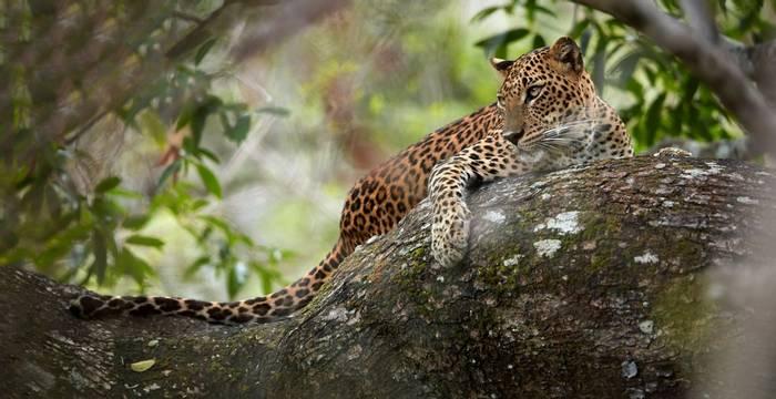 Leopard, Yala, Sri Lanka Shutterstock 512022754