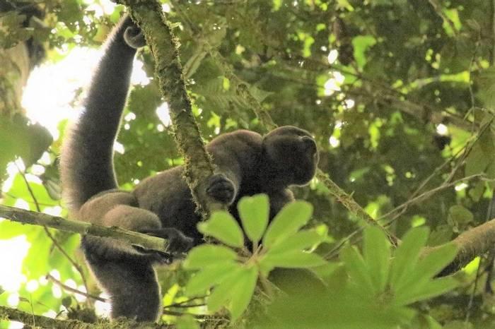 Colombian Woolley Monkey (Robin Smith).JPG