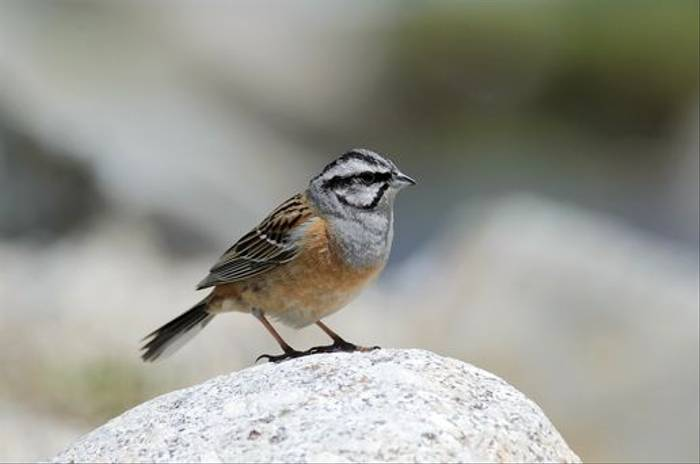 Rock Bunting (Richard Stern)