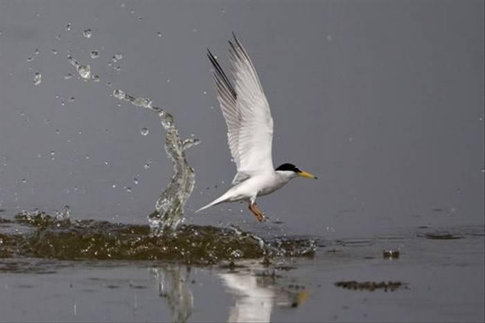 Little Tern (Mick Doyle)
