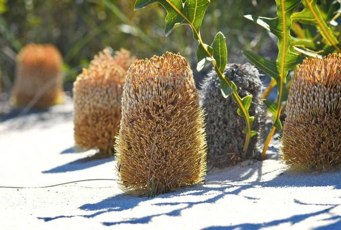 Creeping Banksia (Banksia repens) - Fitzgerald National Park
