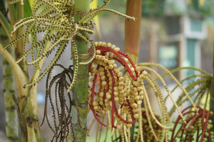 Pinanga Coronata flowers and fruit (Brian West)