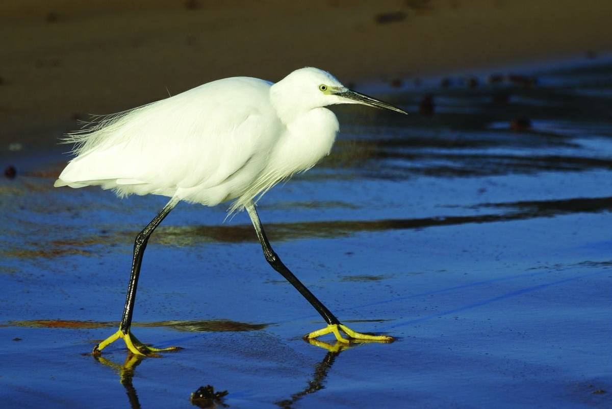 Egret, ( Egretta garzetta) , walking along the beach