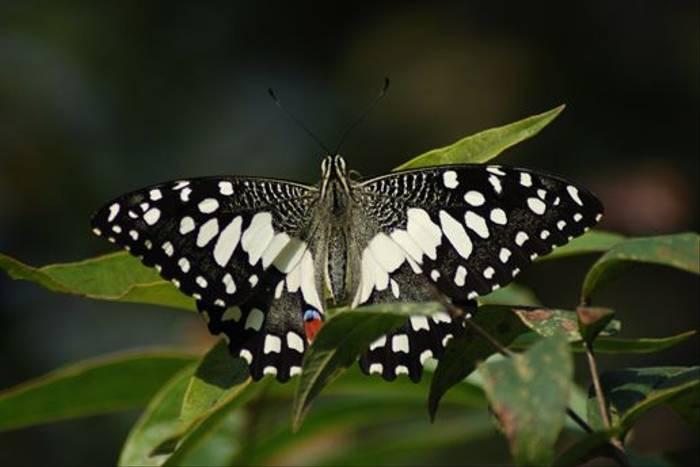 Lime Swallowtail, Koshi