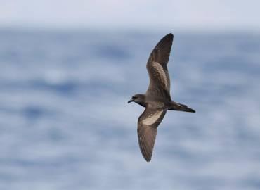 Madeira & Desertas Islands - A Seabird Extravaganza!