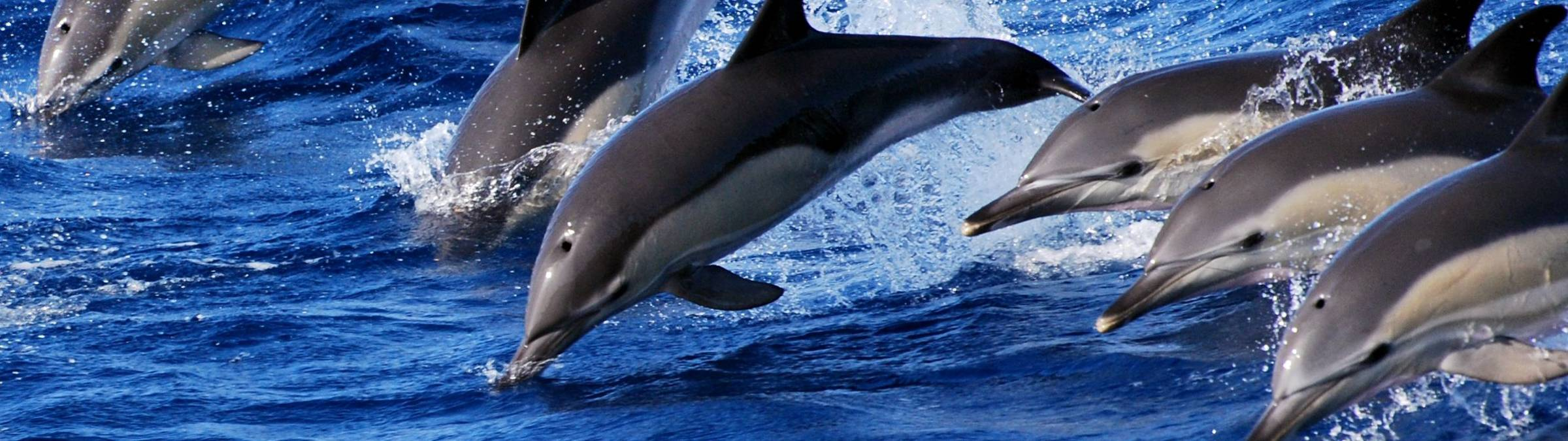 Swimming With Dolphins   Credit Futurismo Azores Adventure